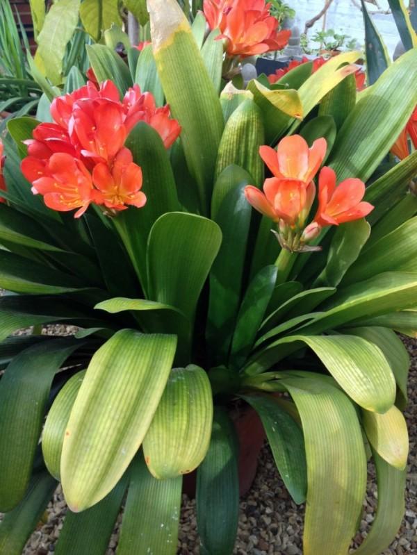 Clivia in full bloom
